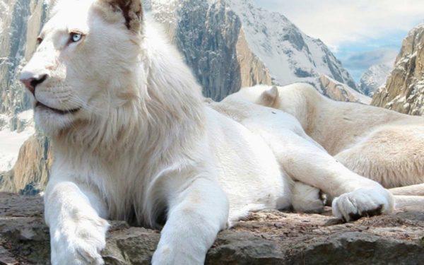 редкий вид белого льва