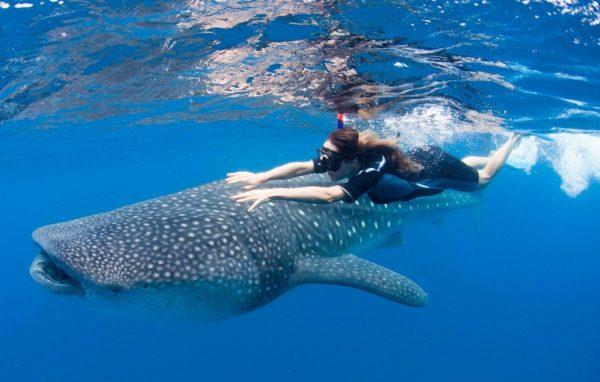 плавание в компании китовых акул