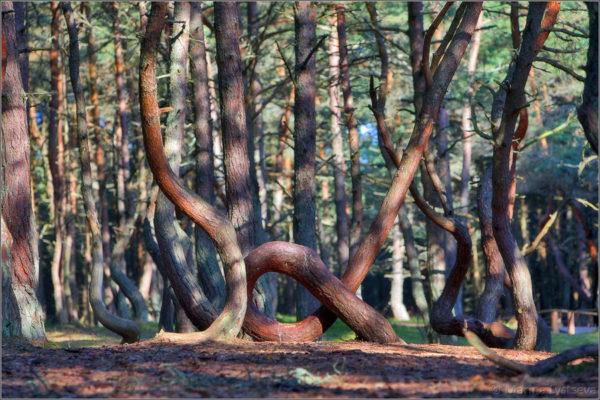 Куршская коса. Танцующий лес
