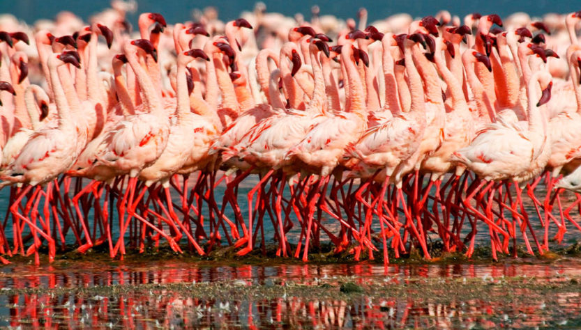 фламинго озеро Накуру ф